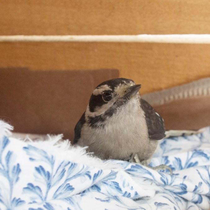 Injured Downy Woodpecker in box