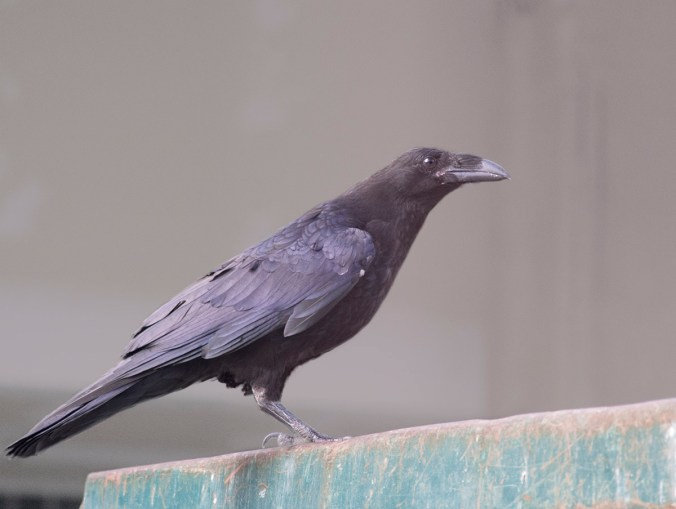 Like the baby crows, the fledgling raven has pink at the side of the mouth.