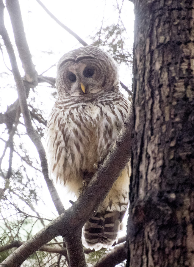 Barred owl and tree trunk