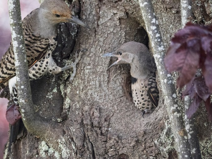 Baby Northern Flicker with Parent, photo by © June Hunter Images, 2017