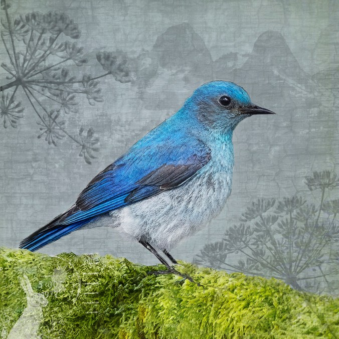 Mountain Bluebird Photo Collage