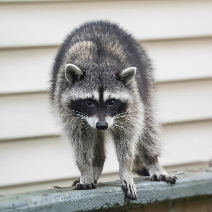 Raccoon on a Wall