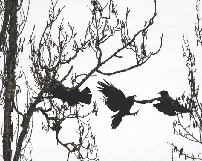 Crow skirmish