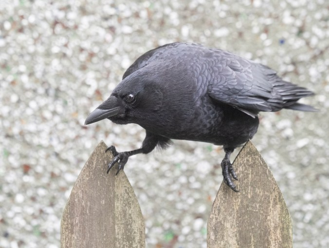 Marvin the crow Fencewalker