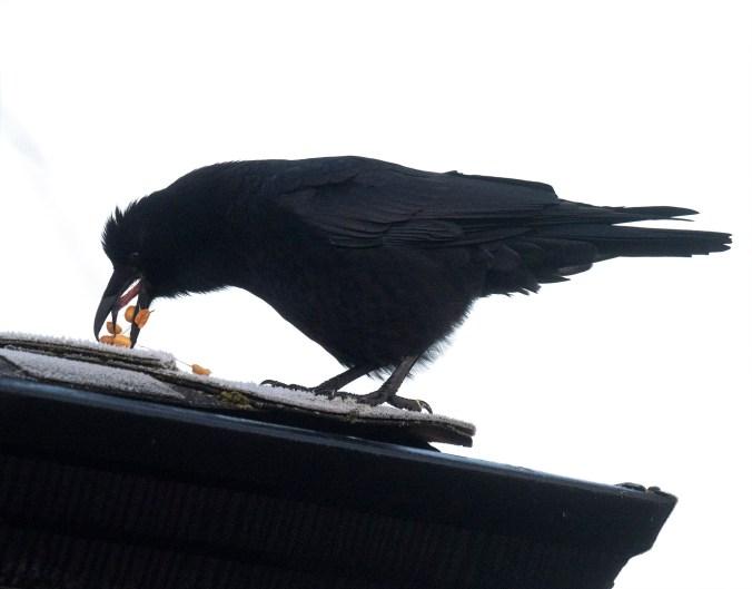 Crow Regurgitates Peanuts