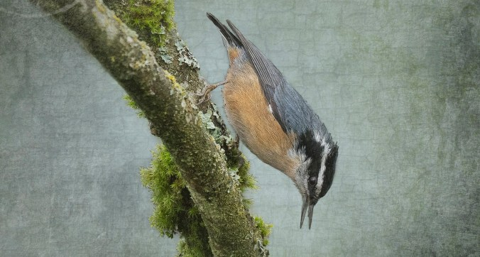 Norman the Nuthatch
