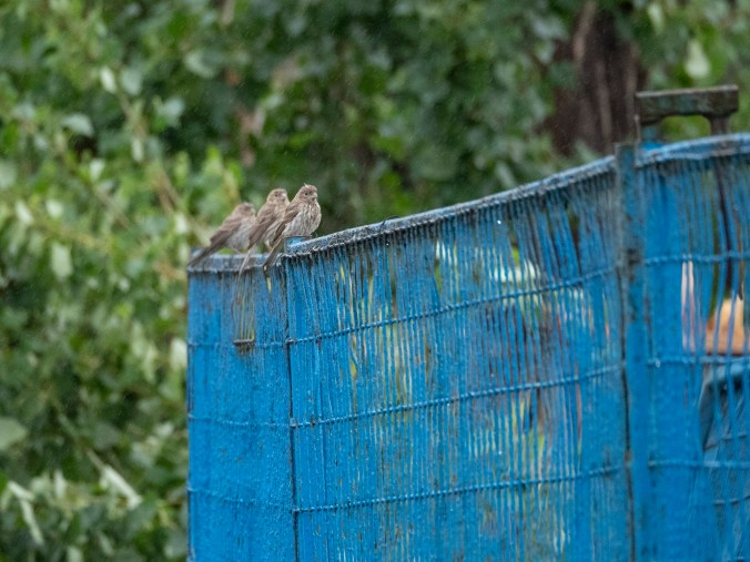 Baby House Finches on a fence