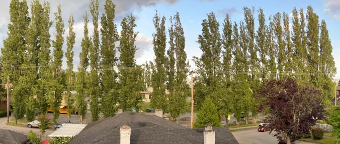 Notre Dame Poplars on Kaslo Street