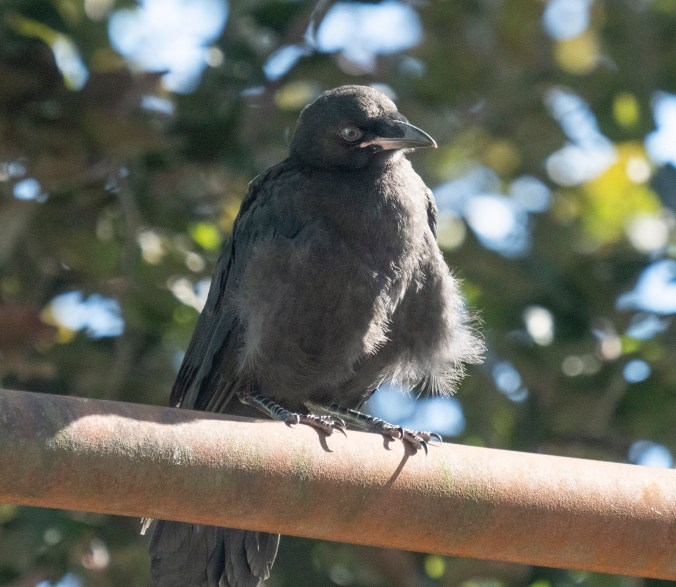 Mabel baby crow Jul 18 2020
