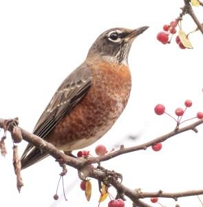 American robin in crabapple tree