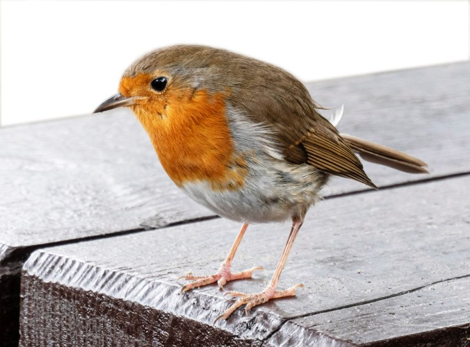 Welsh robin on a picnic table