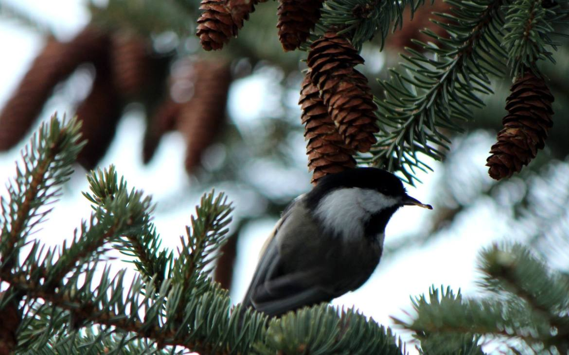 A hungry chickadee snacks on seeds from thawing pinecones