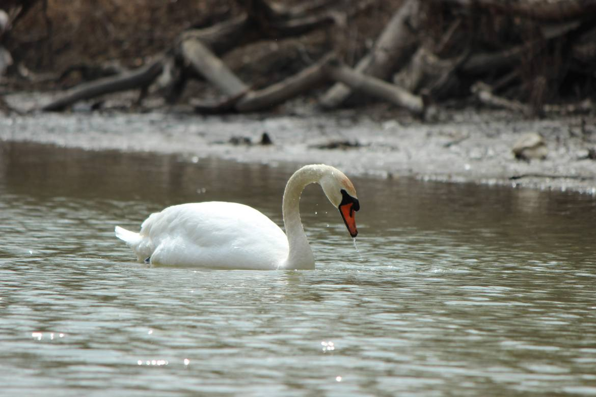 A pristine white swan gathering food and grooming on the Humber River in Toronto