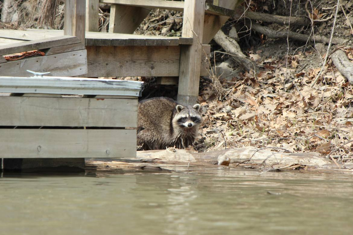 A raccoon on the Humber River in Toronto