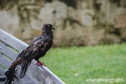 a wet pigeon