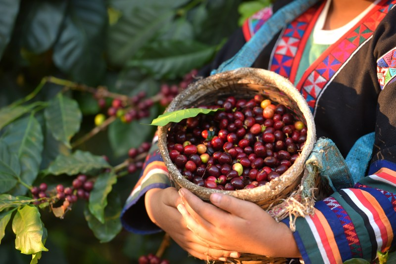 Akha woman picking red coffee beans on bouquet on tree arabica coffee berries on its branch,economy industry business, health food and lifestyle