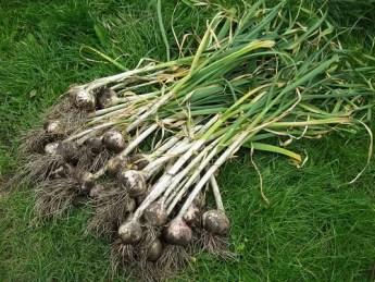 Garlic | Herbal Alternatives to Antibiotics