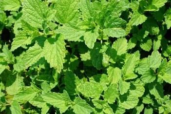 Peppermint | Herbal Alternatives to Antibiotics