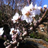 a tree is blooming at the Greek island of Kea /ένα δέντρο ανθίζει στη νήσο Κέα