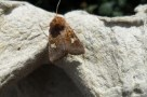 Ear moth 2
