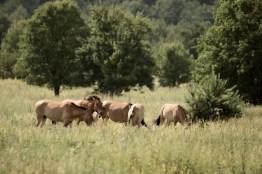 Przewalski Pferde in der Sperrzone