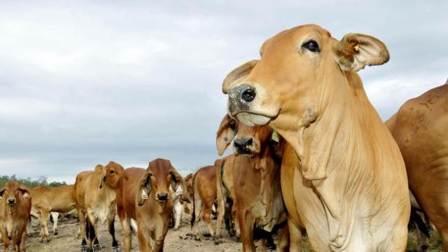 Cattle perish from food poisoning