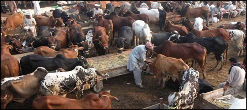 ھیڑ ' بکریوں کے موذی مرض '' کاٹا '' کے کنٹرول کیلئے جاری پراجیکٹ کو مکمل کر لیاگیاہے