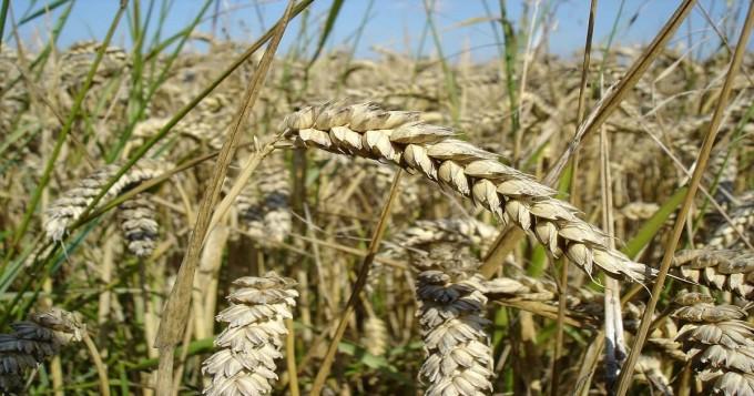 دنیا بھر میں گندم کی کل سالانہ کھپت 642ملین ٹن اور پیداوار 701 ملین ٹن تک پہنچ گئی ، محکمہ زراعت