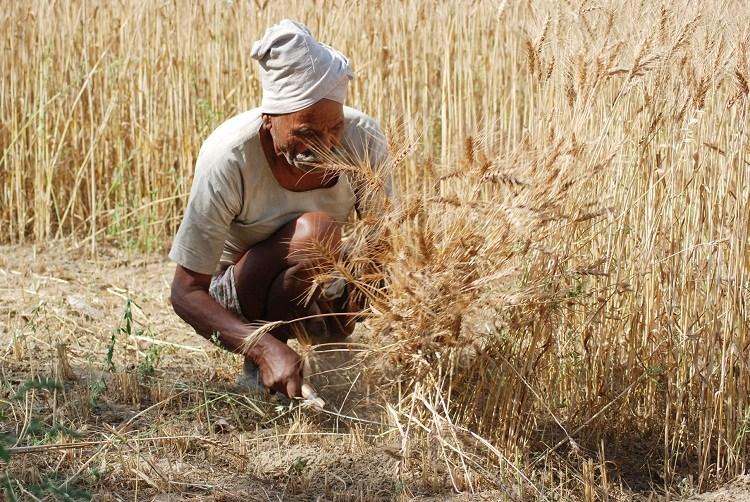 پاکستان دنیابھر میں گندم پیداکرنے والے ممالک میں ساتویں، کپاس میں چوتھے، چینی میں چھٹے، چاول میں تیرہویں اور مکئی میں بیسویں نمبر پرآگیا