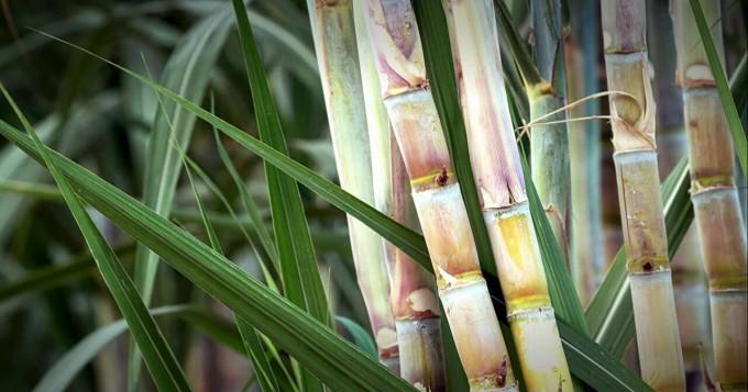 کاٹن زونزمیں گنے کی کاشت پر پابندی یقینی بنانے کا مطالبہ