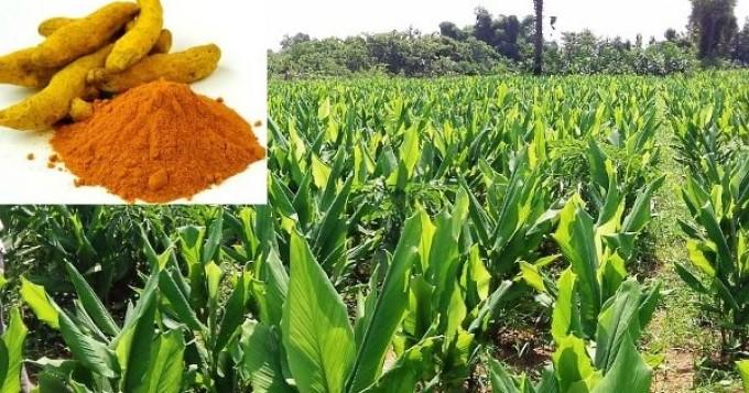 ہلد ی کی کاشت کے لئے مرطوب و متعد ل آب و ہوا کی ضرورت ہے ، زرعی ماہرین