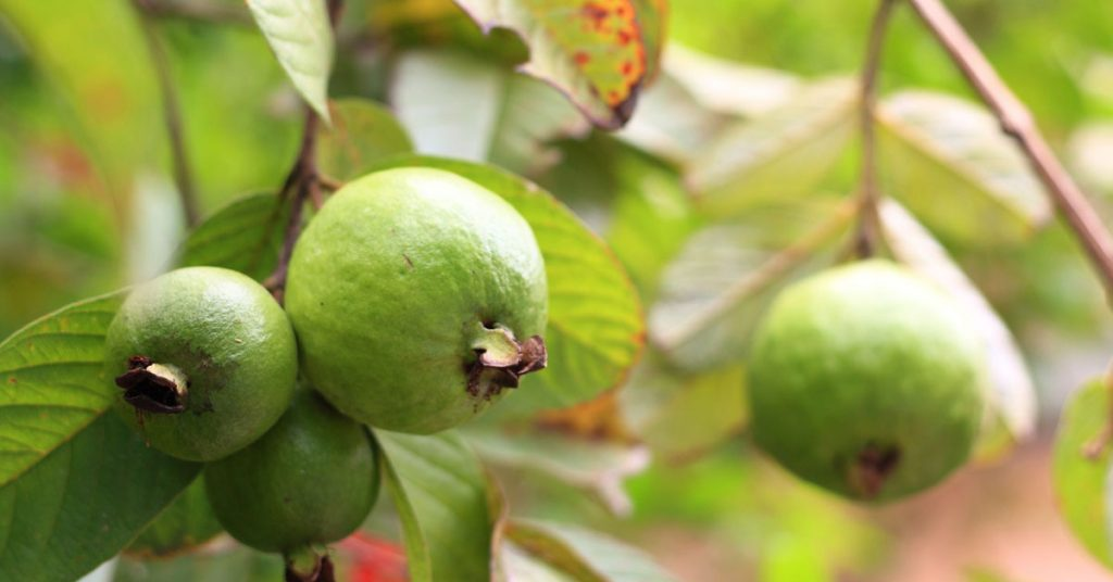 امرود کے پودوں کی مناسب دیکھ بھال کریں
