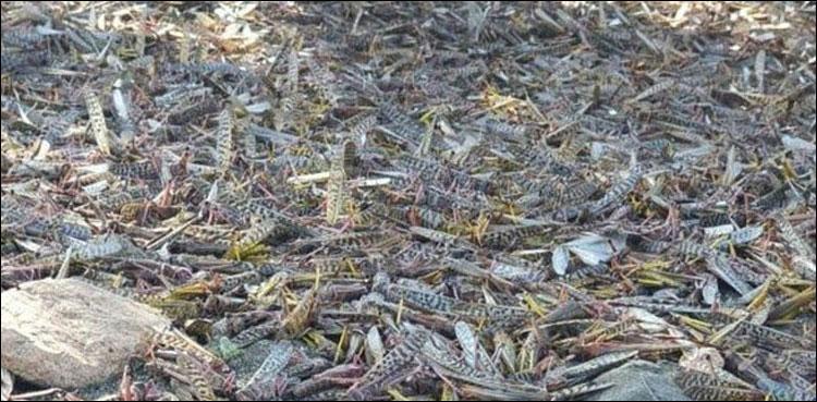 Saudi Arabia: Locust Attack in Popular Town