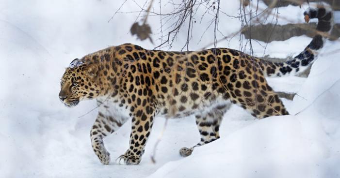 سرینگر کے باغ مہتاب میں پانچ دن سے موجود چیتا پکڑا گیا