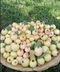 ملک میں امرود کی پہلی کسان قسم کا رجسٹریشن