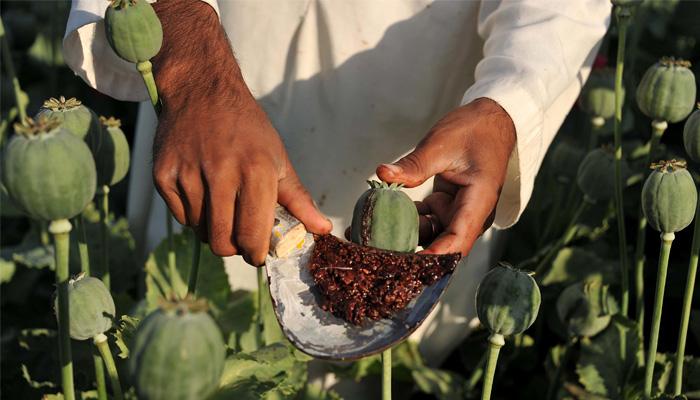 افغانستان افیون بنانے والا دنیا کا سب سے بڑا ملک ہے — فوٹو: فائل