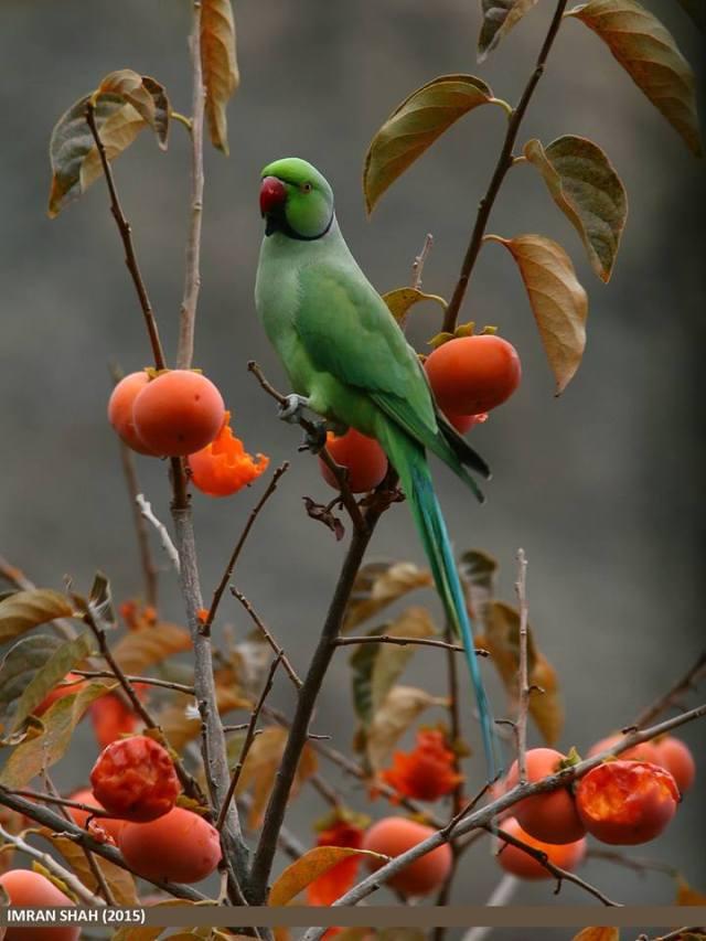 Rose-ringed Parakeet (Psittacula krameri) captured at Jutial, Gilgit, Gilgit-Baltistan, Pakistan