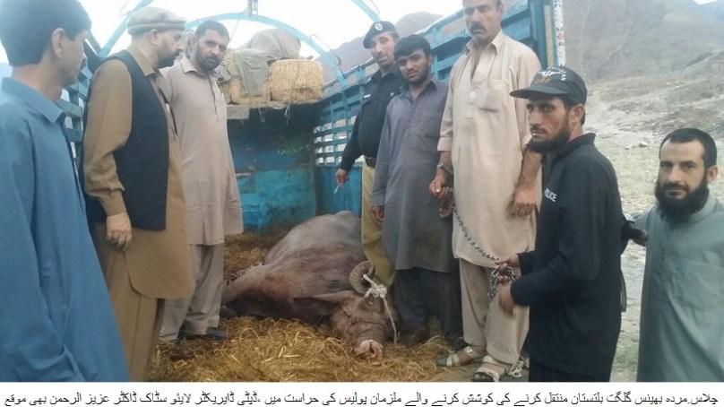 مردہ بھینس گلگت بلتستان منتقل کرنے کی کوشش کرنیوالے مجرموں کو تین مہینے کے لئے جیل بھیج دیا گیا