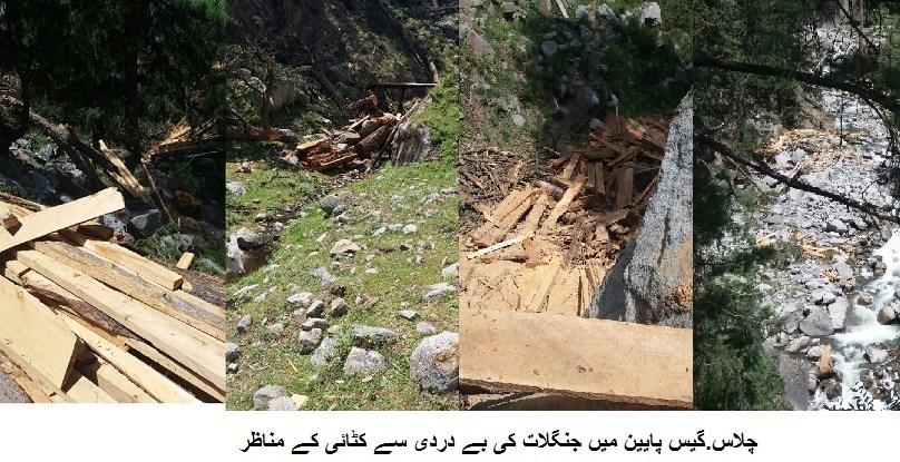 دیامر کے علاقے گئیس پائین میں جنگلات کی بے رحمانہ کٹائی کاسلسلہ جاری