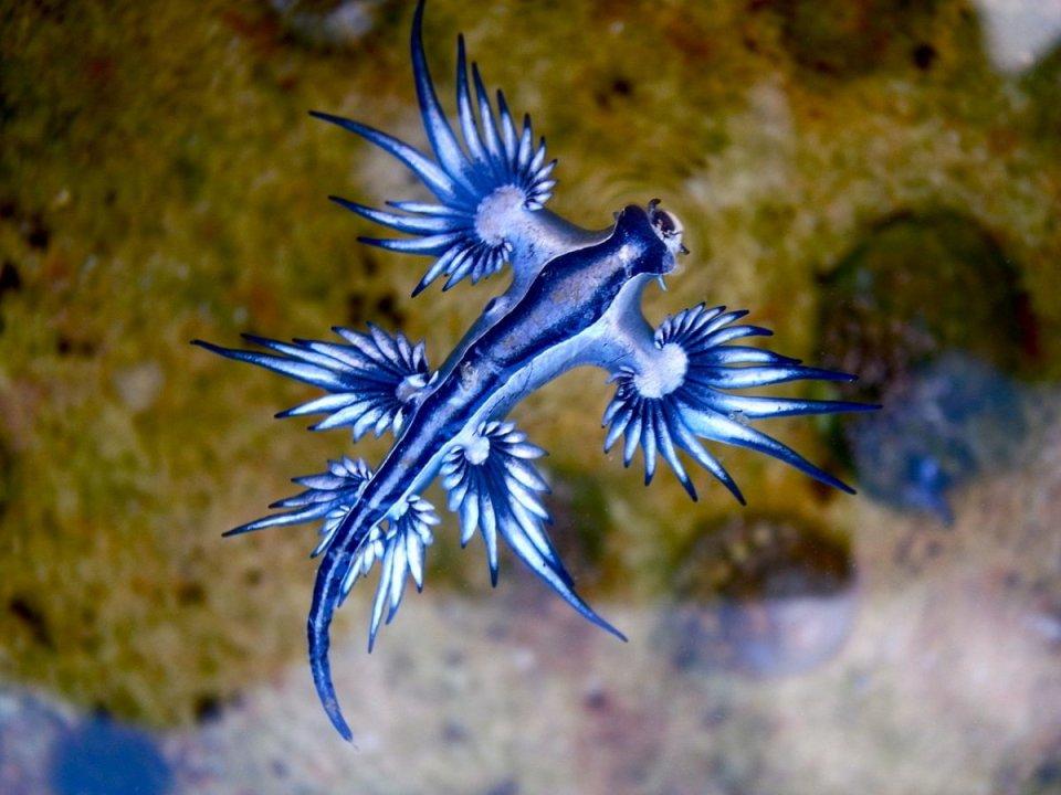8-glaucus-atlanticus