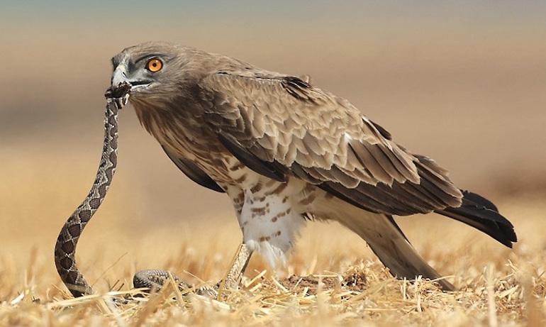 орел змияр