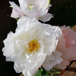 Large white artificial peony bloom