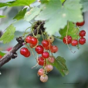 reife und unreife rote Johannisbeeren am Strauch. Johannisbeeren passen prima zu Vitamin-B12-Lebensmitteln.