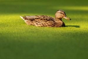 Duckweed (Wasserlinsen) enthalten Vitamin B12. Enten schwimmen in einem Teich, der mit Duckweed bedeckt ist. Ente in einem übergewachsenen Teich. Die Nase der Ente ist mit Duckweed bedeckt.