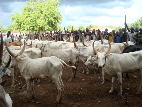 Delta Commissioner Threatens To Impound Cows Found In Campus