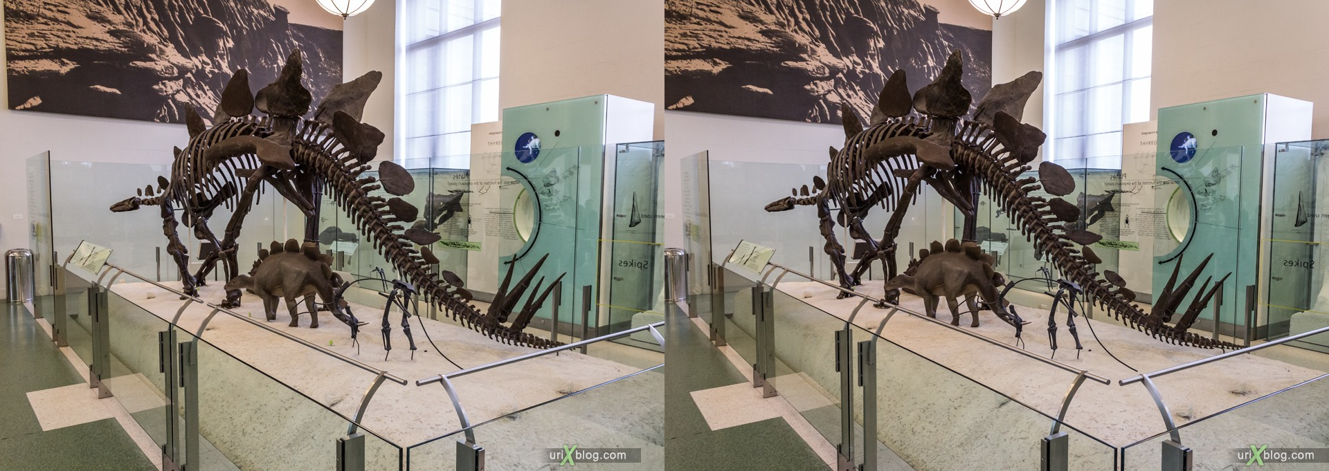 2013, American Museum of Natural History, NYC, New York City, USA, animal, dinosaur, skeleton, 3D, stereo pair, cross-eyed, crossview, cross view stereo pair, stereoscopic