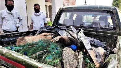 Photo of मध्यप्रदेश में चार दिनों में 42 मोरों की मौत,अवैध शिकार का शक !