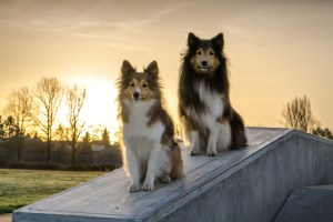 shelties112-1452606476-89.jpg