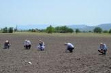 Kırkağaç Kavunu Tohumu Toprakla Buluştu