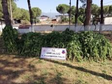 İzmirde 875 Kök Kenevir Bitkisi Ele Geçirildi